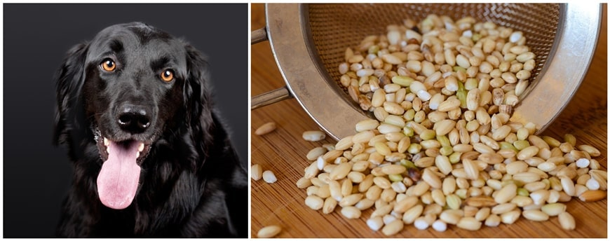 Can Dogs Eat Brown Rice?