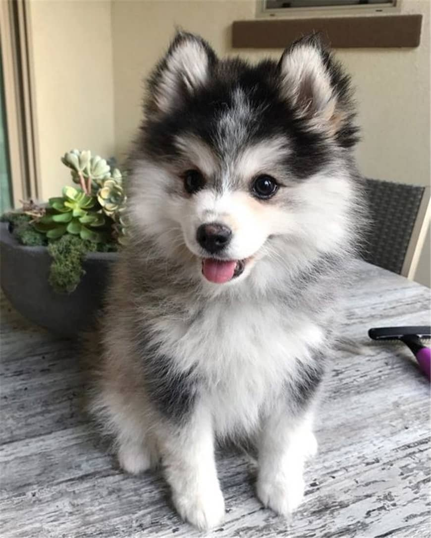 Do Pomsky Shed? The Pomsky Shedding Level and Grooming Tips