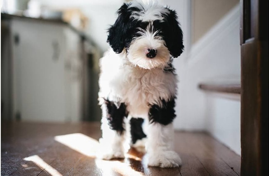 Mini Sheepadoodle:Everything You Would Like to Know