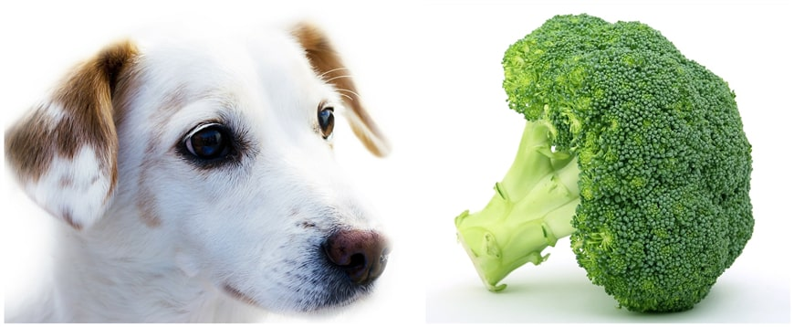 Can Dog Eat Broccoli?
