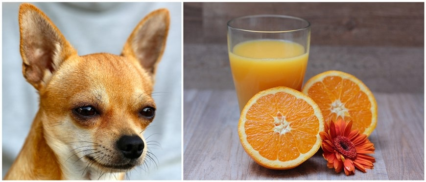Can Dogs Have Orange Juice?