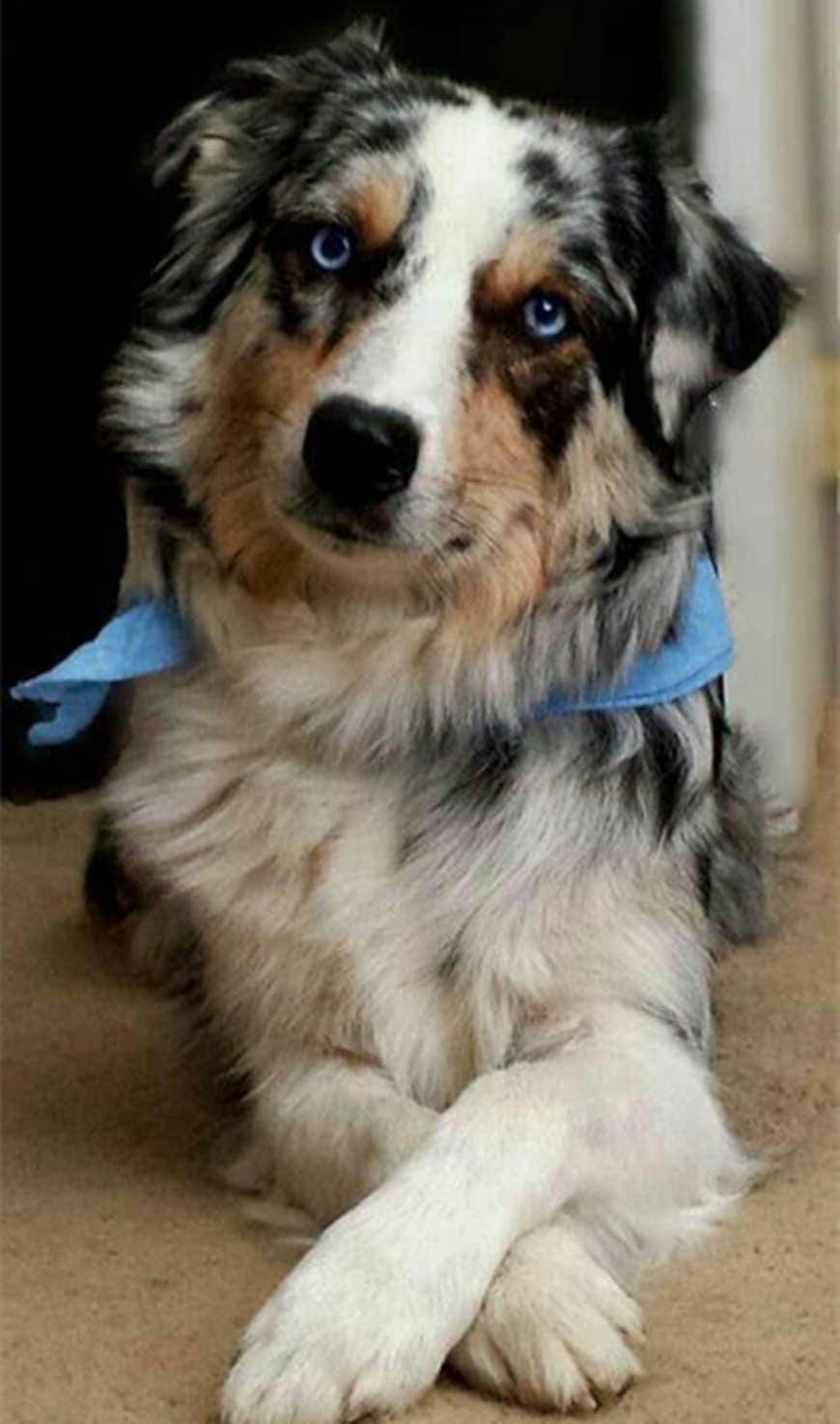 Border Collie And Australian Shepherd (Aussie) Mix