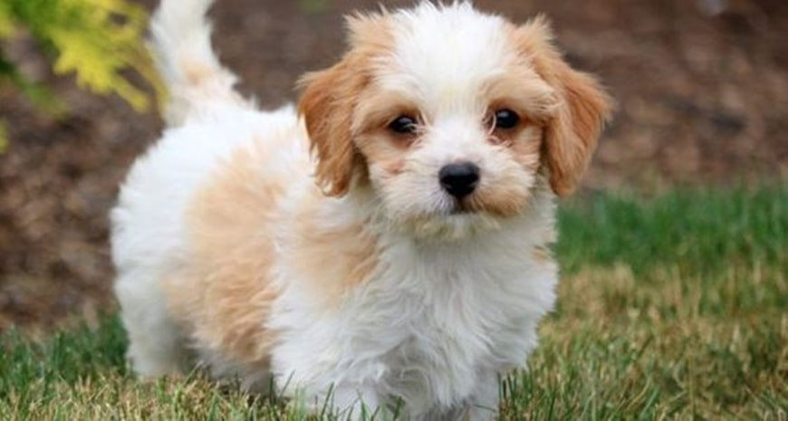 An Ultimate Guide to Owning a Cavachon