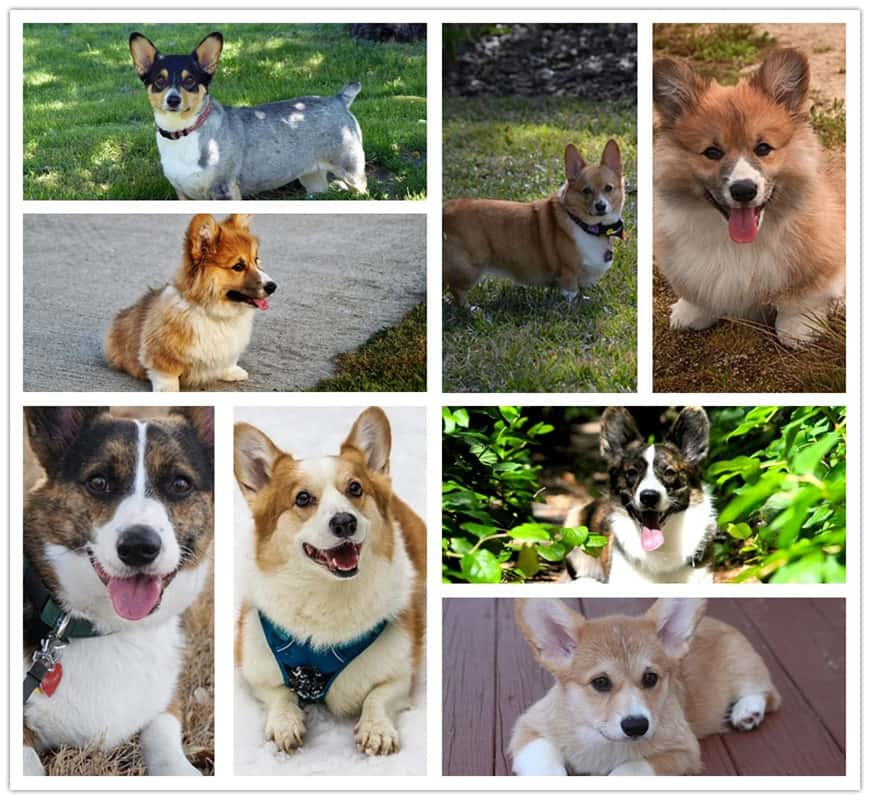 What is the Best Corgi Color?