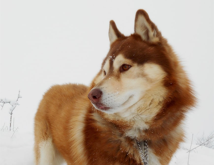 Red Husky: Why This Coat Color is One of the Best Husky Colors