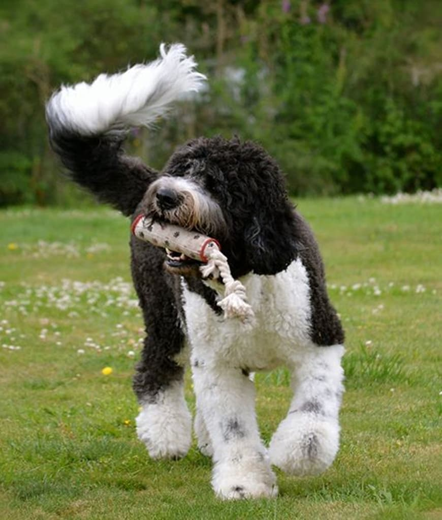 Saint Berdoodle: An Ultimate Guide to this Giant Crossbreed