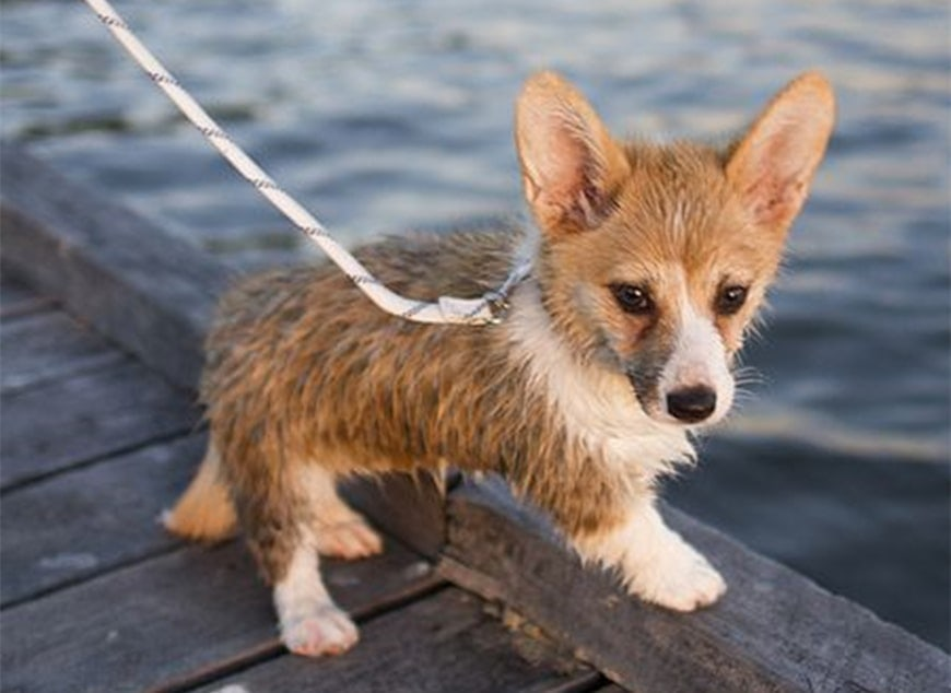 The Teacup Corgi: Everything You Need to Know