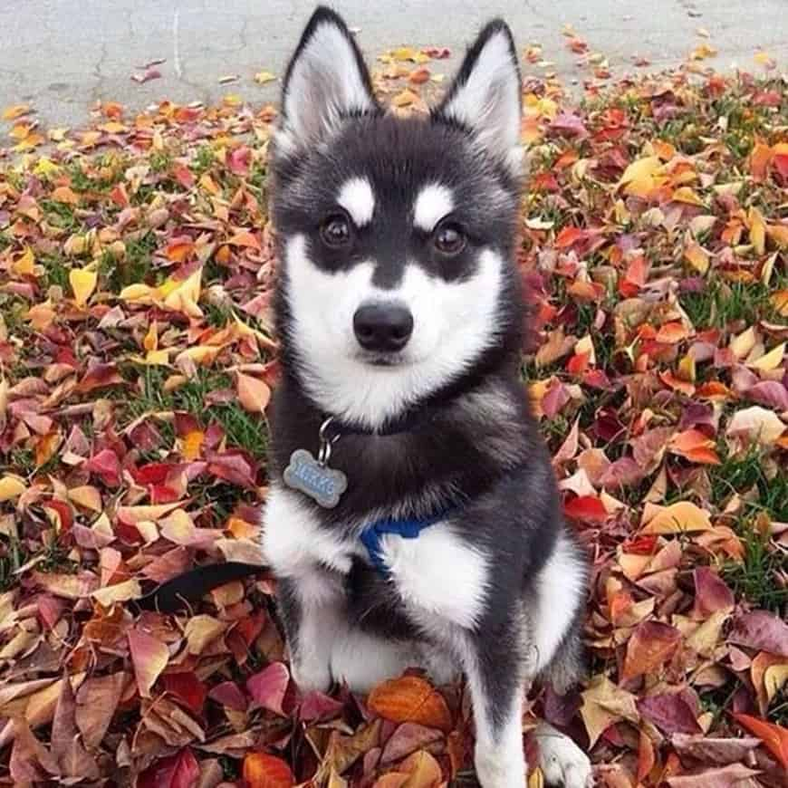 The Mini Husky: All the Things You Need to Know
