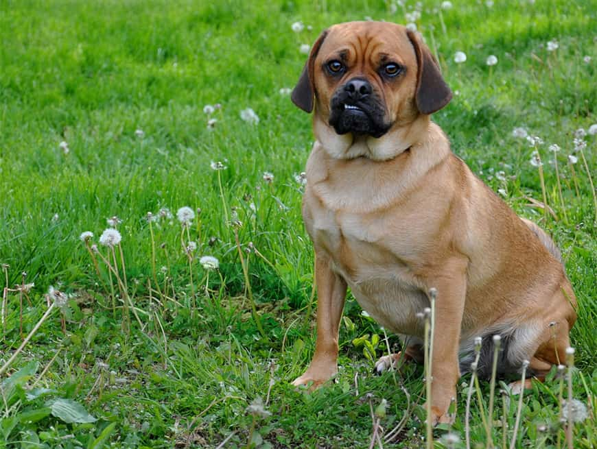How Long Do Puggles Live?
