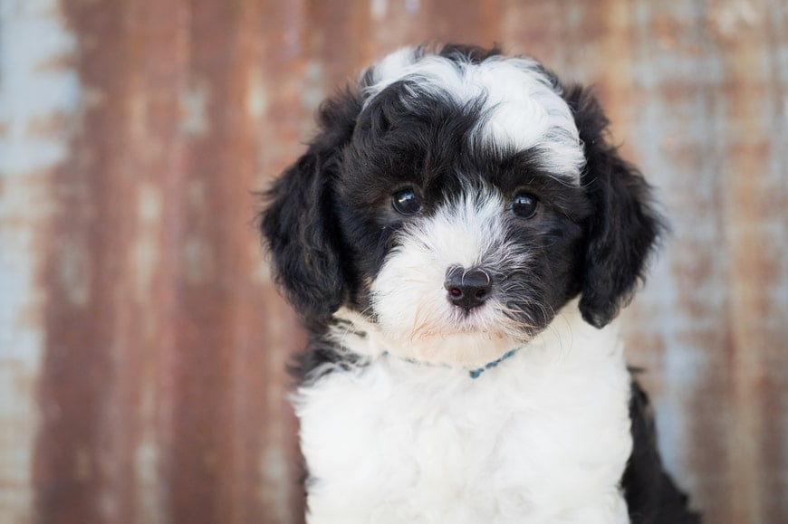 Ultimate Guide in Caring for Sheepadoodle Puppies