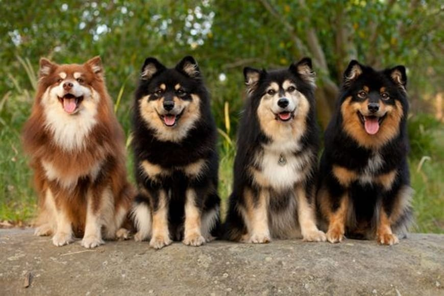 An Ultimate Guide to the Finnish Lapphund Breed