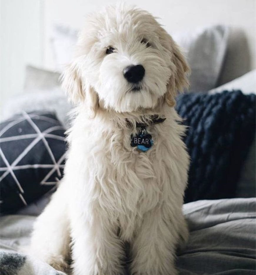 All You Need to Know About the English Cream Goldendoodle