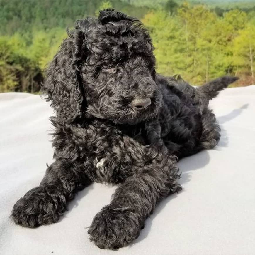 What is the F1BB Goldendoodle