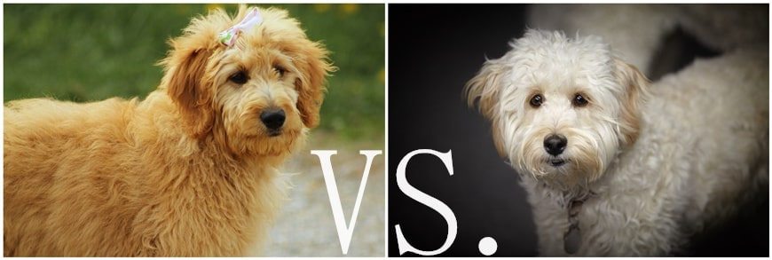 Goldendoodle vs. Labradoodle: Which is better?