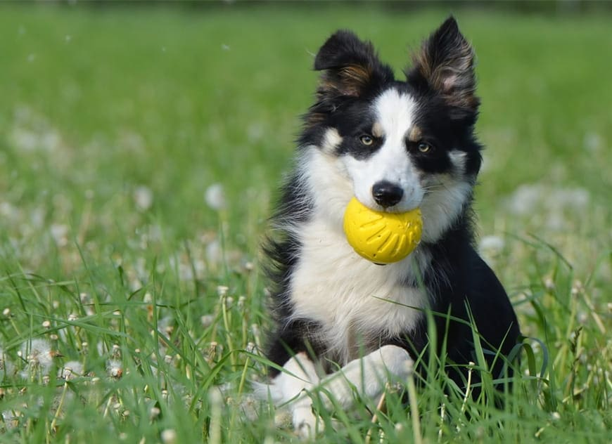 Mini Border Collie: What You Need to Know About