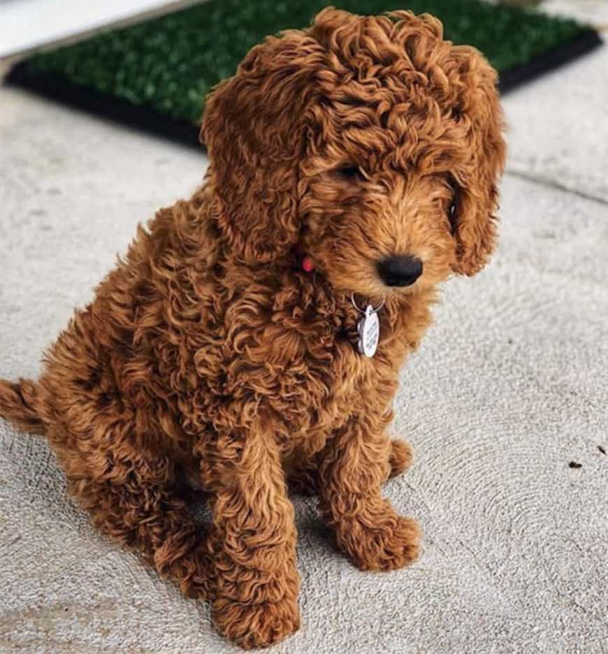 Our Guide to the Red Goldendoodle