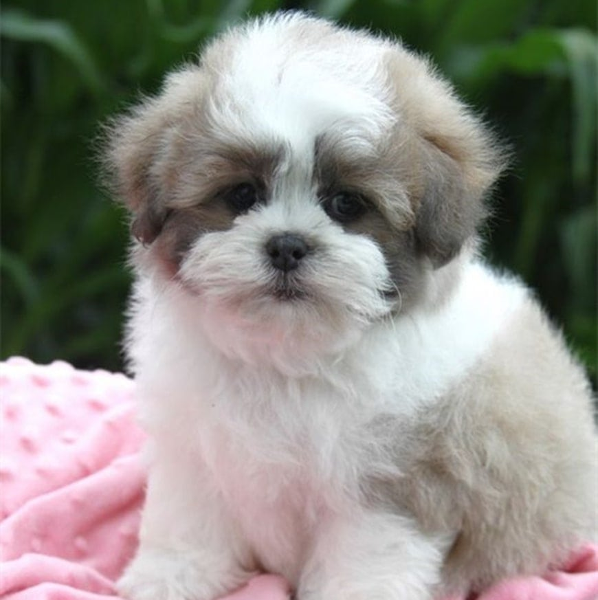 Complete Guide to Shih Chon Puppies