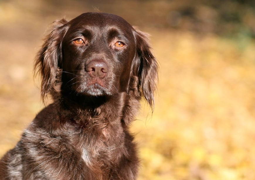 Small Münsterländer: Is This Hunting Dog for You?