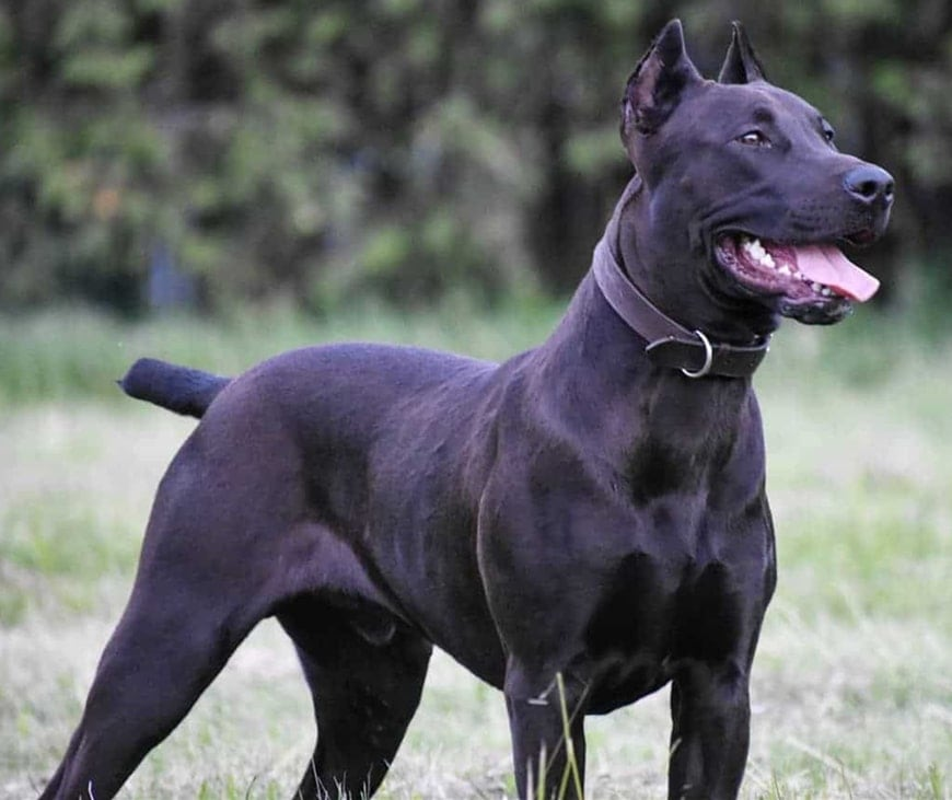 Canis Panther: Interesting Details about the Popular Guard Dog