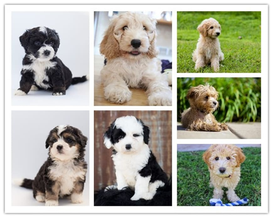 Things to Consider Before Adopting Doodle Puppies