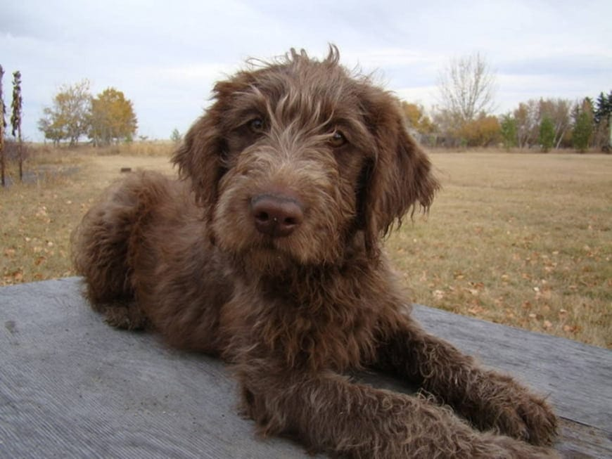 What is an F1 Labradoodle?