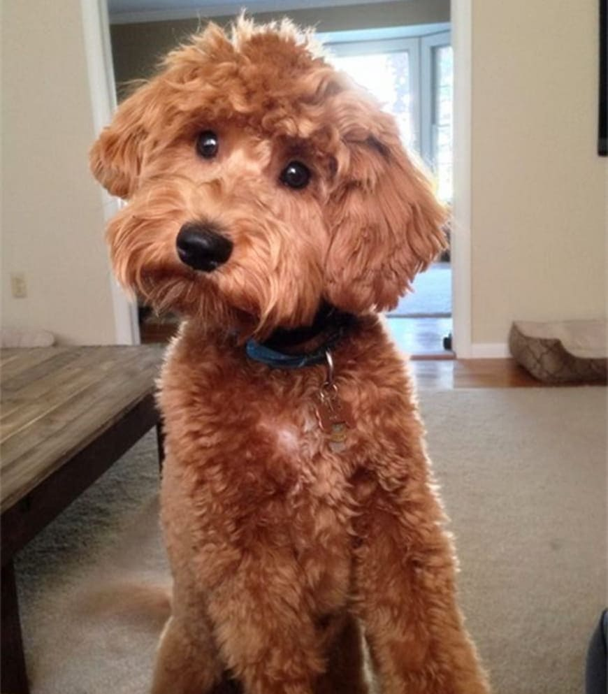 Is an F2B the Best Generation of Goldendoodle?