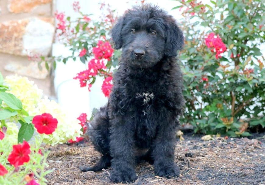 Fun Facts about Shepadoodle Puppies