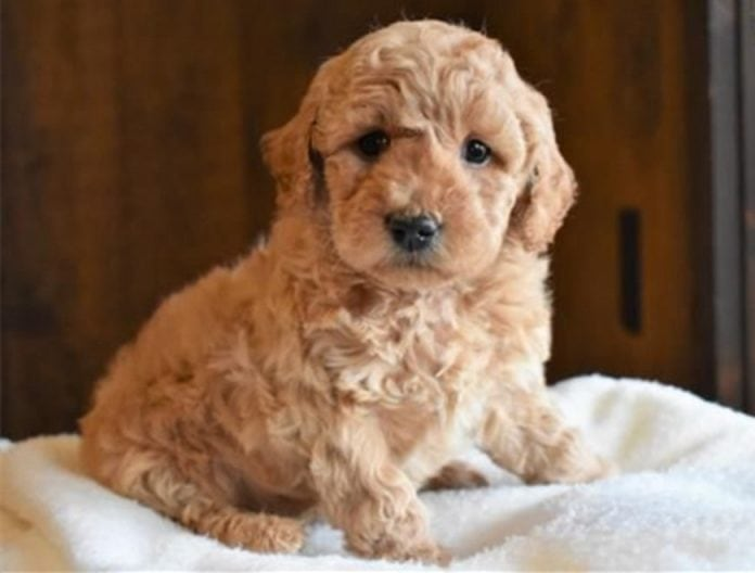 F2B Mini Goldendoodles: Things You Need to Know About | ebknows