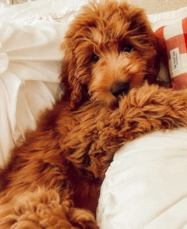 Guide To Owning A Red Mini Goldendoodle