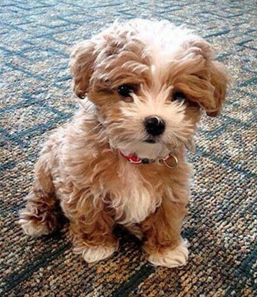 Dog Breeds That Look Like Real Life Teddy Bears Ebknows